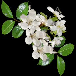 Carena-Sweet-Love-of-Spring-Cluster-10.th.png