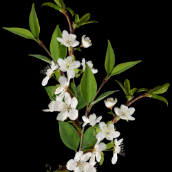 Carena-Sweet-Love-of-Spring-Cluster-8.th.png
