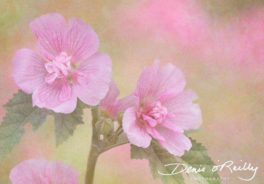 Pink-Mallow.jpg