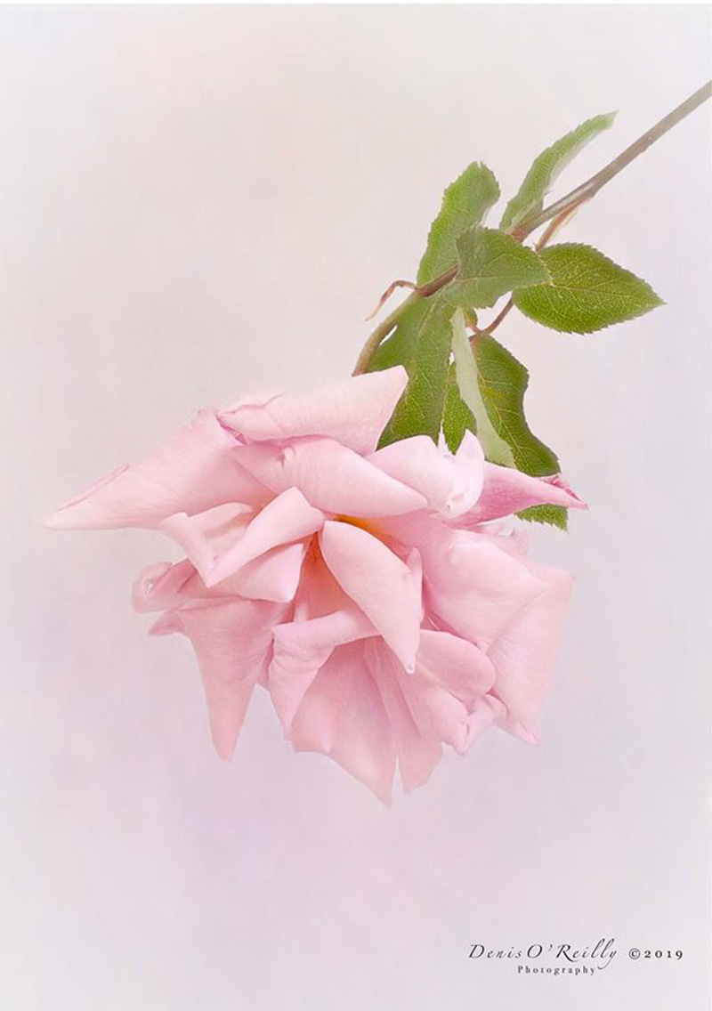 The-Last-Rose-of-Summer.jpg