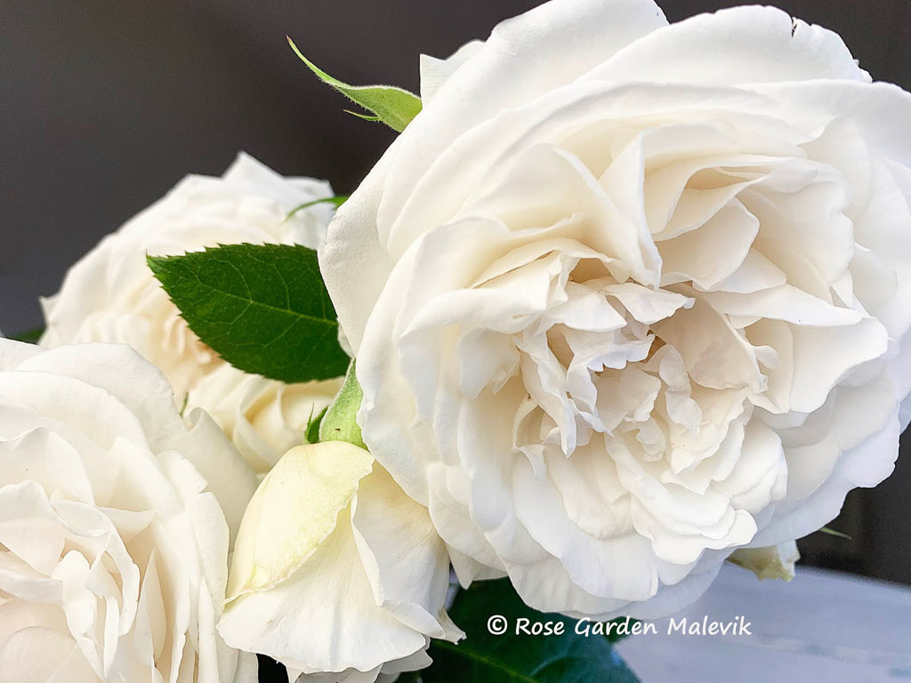 Crazy-in-Love-rose-style-roses.jpg